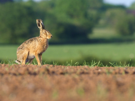 European brown hare, Lepus europaeus, single hare on field, Warwickshire, May 2017