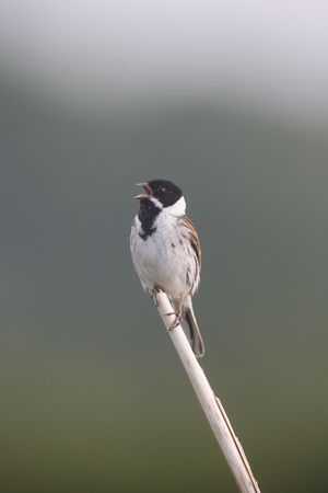 common reed: Common reed bunting, Emberiza schoeniclus, single male singing, on reed, Warwickshire, June 2017
