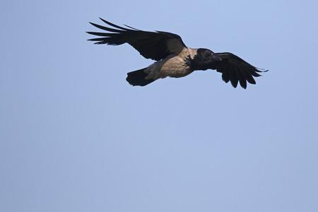 corvus: Hooded crow, Corvus cornix, single bird in flight, Limnos, Greece, June 2017 Stock Photo