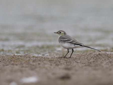 Pied wagtail, Motacilla alba, immature bird on mud, Warwickshire, June 2017