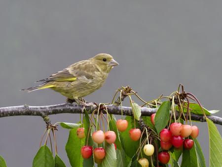 Greenfinch, Chloris chloris, young bird on cherry tree, Warwickshire, June 2017