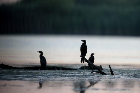Pygmy cormorant, Phalacrocorax pygmeus, group of birds on branch, Romania, July 2017