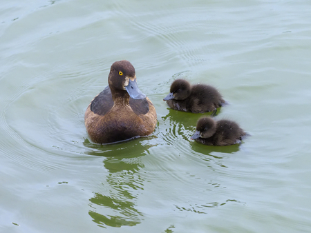 Tufted duck, Aythya fuligula, female with two young, Midlands, July 2017 Stock fotó