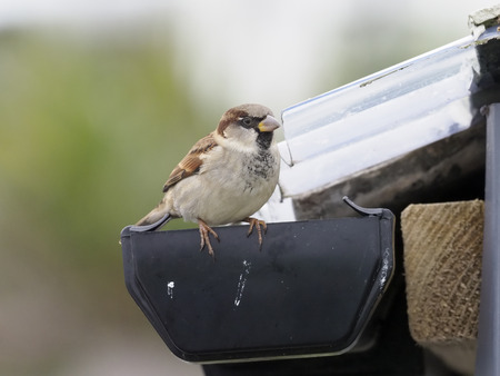 House sparrow, Passer domesticus, single male on roof, Cornwall, October 2017