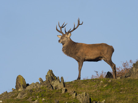Red deer, Cervus elaphus, single male on rocky outcrop, Leciestershire, October 2017 Stock Photo