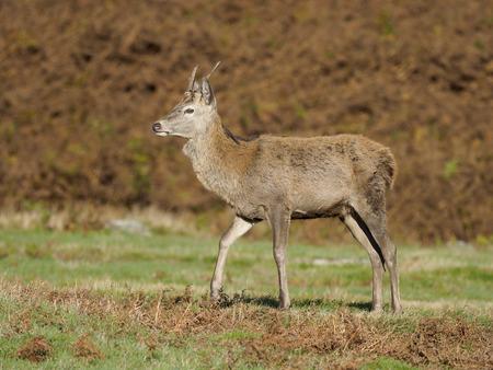 Red deer, Cervus elaphus, single male, Leciestershire, October 2017 Stock Photo