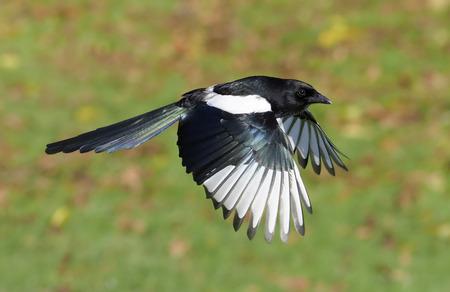 Magpie, Pica pica, single bird in flight, Warwickshire, November 2017 Archivio Fotografico