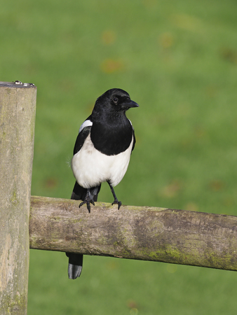 Magpie, Pica pica, single bird on post