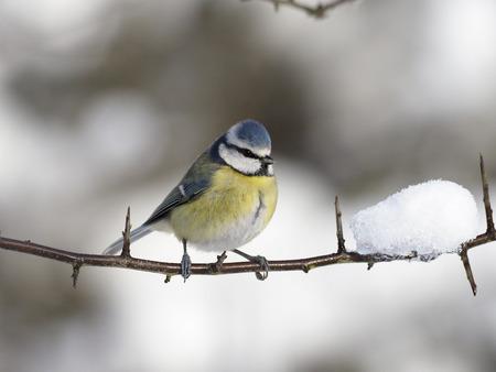 Blue tit, Cyanistes caeruleus, single bird on branch in snow, Worcestershire, December 2017