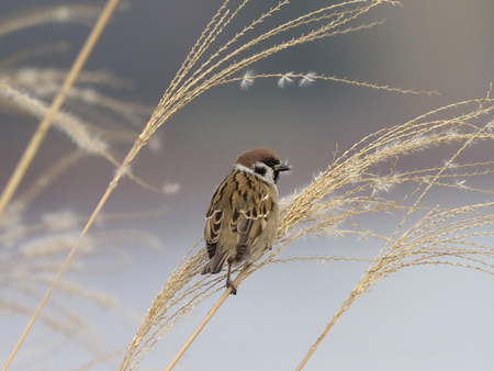 Tree sparrow, Passer montanus, single bird on reeds, South Korea