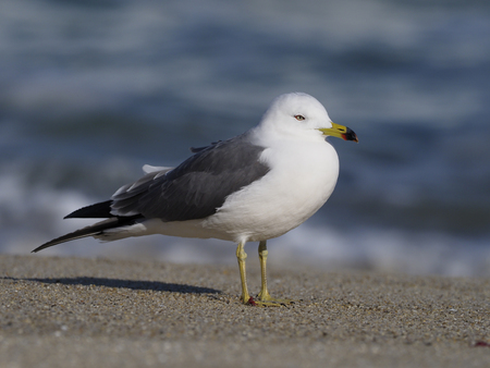 Black-tailed gull, Larus crassirostris, single bird on beach by water, South Korea, January 2018 Stock Photo
