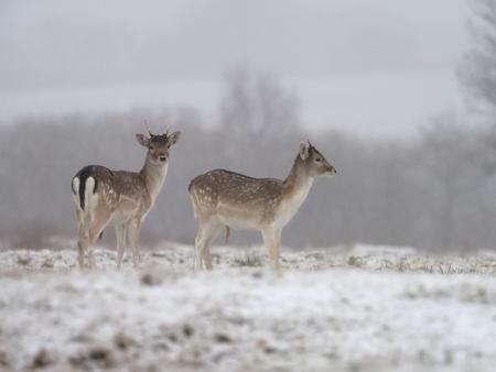 Fallow deer, Dama dama, two mammals in snow, Leicestershre, January 2018