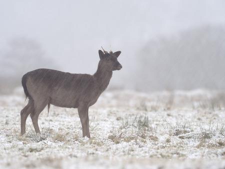 Fallow deer, Dama dama, single male in snow, Leicestershre, January 2018