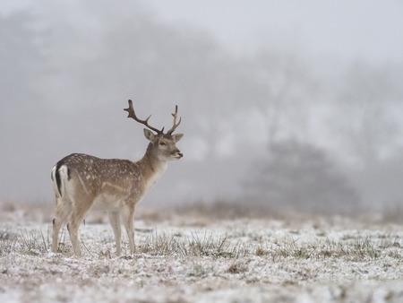 Damherten, Dama dama, vrijgezel in sneeuw, Leicestershre, januari 2018