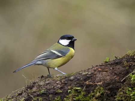 Great tit, Parus major, single bird on branch, Worcestershire, February 2018                  版權商用圖片
