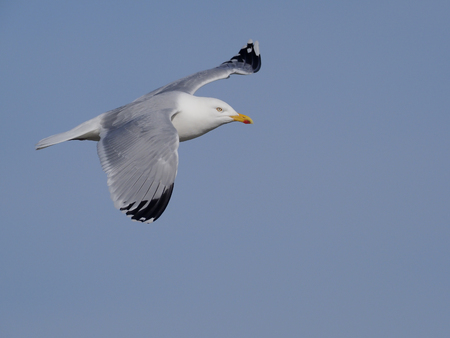 Herring gull, Larus argentatus, single bird in flight. Norfolk,