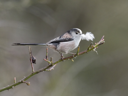 Long-tailed tit, Aegithalos caudatus, single bird carrying feather to nest, Warwickshire, April 2018