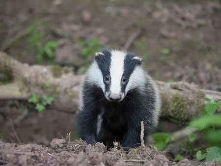European badger, Meles meles, single cub at sett, Warwickshire, May 2018