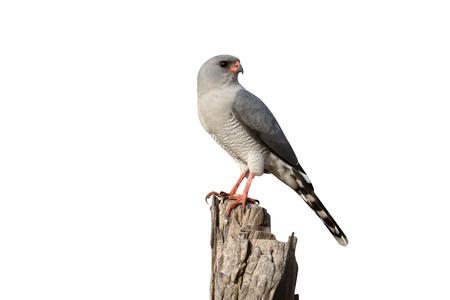 Gabor goshawk, Melierax gabar, single bird on branch, Gambia, February 2016