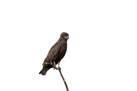 Brown-snake eagle, Circaetus cinereus,  single bird on branch, Gambia, March 2017  Stock Photo