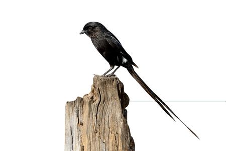 Afrcian long-tailed shike or Magpie shrike, Urolestes melanoleucus, single bird on branch, South Africa, August 2015
