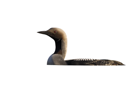 Black-throated diver, Gavia arctica, single bird on water, Finland, July 2012