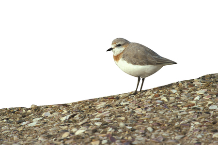 Chestnut, Banded plover, Mimus saturninus Namibia Stock Photo
