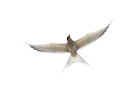 Arctic tern Sterna paradisaea, flight, Scotland Banque d'images - 104698174