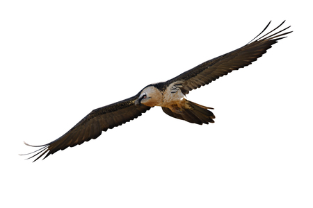 Lammergeier or lammergeyer or bearded vulture,  Gypaetus barbatus, in flight, Spain, winter