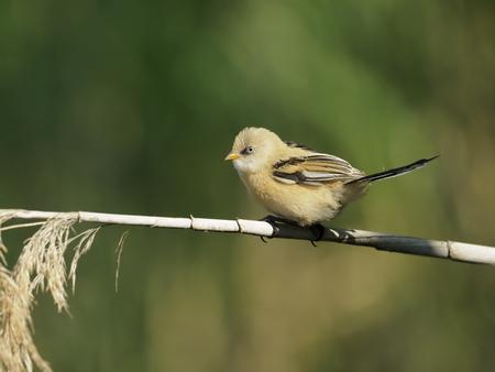 Bearded reedling, Panurus biarmicus, single juvenile bird on reed, Hungary, July 2018
