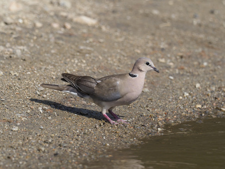 Ring-necked dove, Streptopelia capicola, Single bird by water, Uganda, August 2018