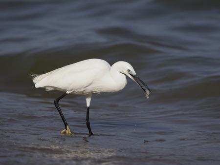 Little egret, Egretta garzetta, Single bird by water, Uganda, August 2018