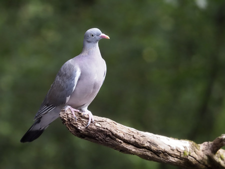 Wood pigeon, Columba palumbus, Single young bird on branch, Hungary, September 2018 Banque d'images