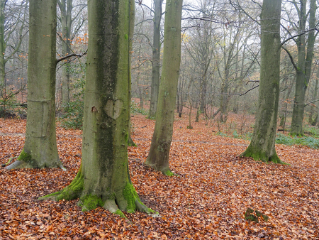 Earlswood Woods Nature Reserve, Beech wood in winter, Warwickshire, November 2018