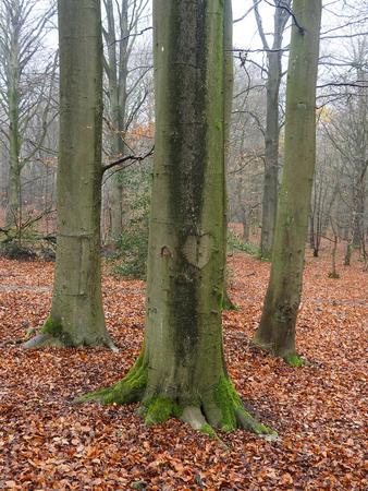 Earlswood Woods Nature Reserve, Buchenholz im Winter, Warwickshire, November 2018 Standard-Bild