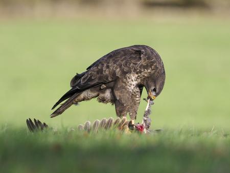 Common buzzard, Buteo buteo, single bird on dead pheasant, Warwickshire