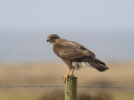 Common buzzard, Buteo buteo, single bird on post, Islay, Hebrides, Scotland Banque d'images