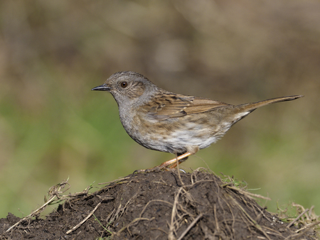 Dunnock or Hedge sparrow, Prunella modularis, single bird on ground, Warwickshire