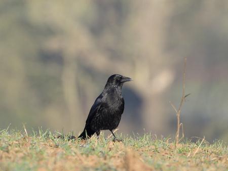 Carrion crow, Corvus corone, single bird on grass, Warwickshire