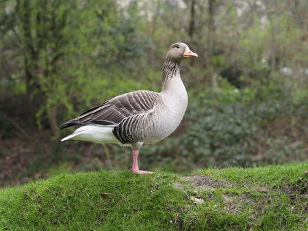 Greylag goose, Anser anser, single bird on grass, London