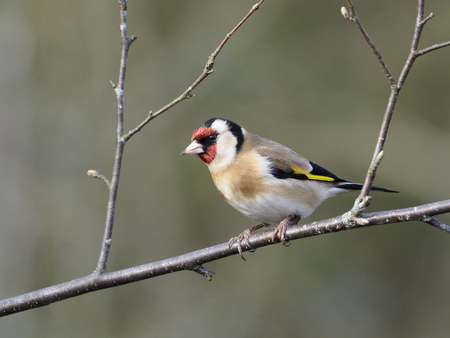 Goldfinch, Carduelis carduelis, single bird on branch, Warwickshire
