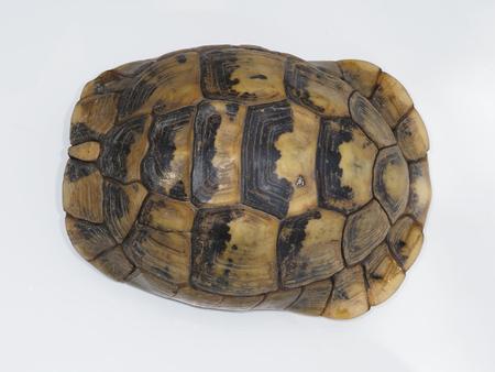 Spur-thighed tortoise or Greek tortoise, Testudo graeca, Bulgaria