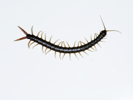 Scolopendra cingulata, also known as Megarian banded centipede and the Mediterranean banded centipede, Bulgaria Stock Photo