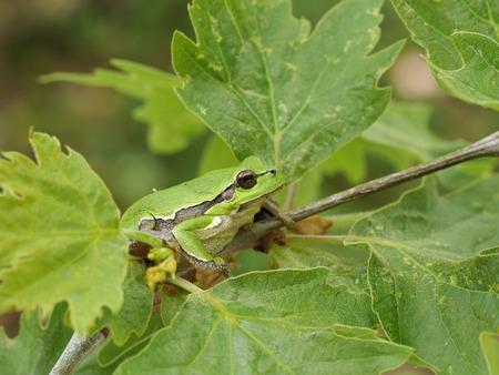 European tree frog, Hyla arborea, Bulgaria Stockfoto