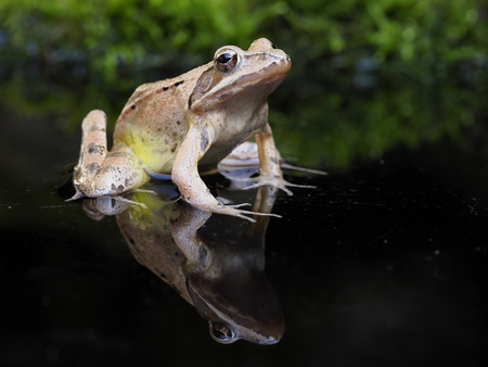 Agile frog,  Rana dalmatina, single frog, bulgaria Standard-Bild