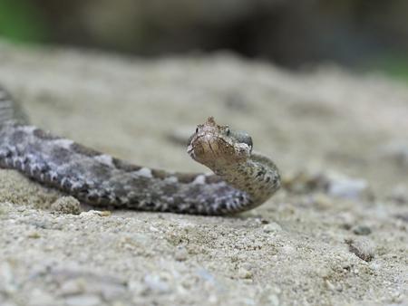 Nose-horned viper, Vipera ammodytes, Bulgaria