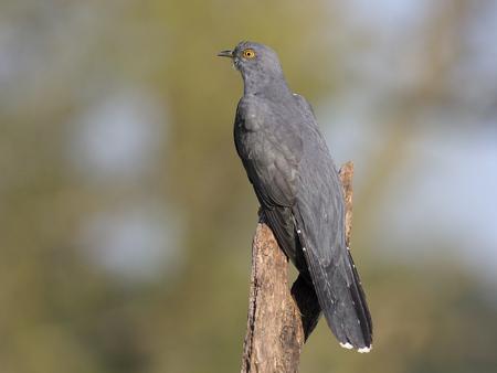 Common cuckoo, Cuculus canorus, single bird on branch, Warwickshire