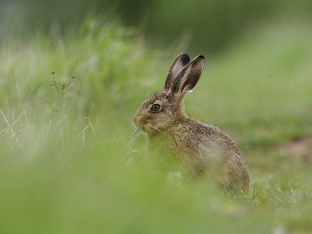 Brown hare, Lepus europaeus, single mammal in , Warwickshire