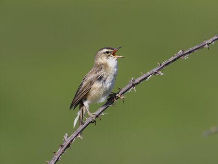 Sedge warbler, Acrocephalus schoenobaenus, single bird on perch, Warwickshire June 2019