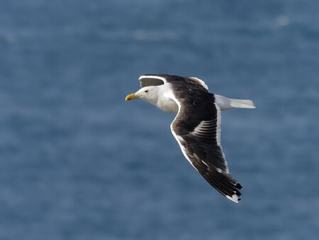Great black-backed gull, Larus marinus, single bird in flight, Skokholm, Wales, August 2019